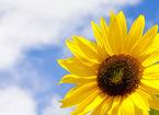 Slunečnicový olej srdci nesvědčí